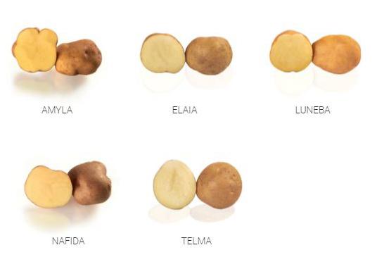 Visuel variétés pour la fécule de Germicopa