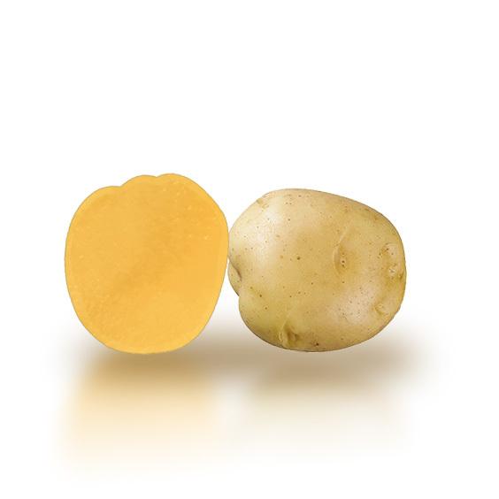 Variété de pomme de terre SAHEL